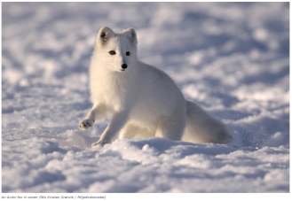 Renewed EU funding will keep a Scandinavian Arctic fox program going